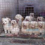 Canile abusivo, venti cuccioli da salvare portati a Cascina Rosa