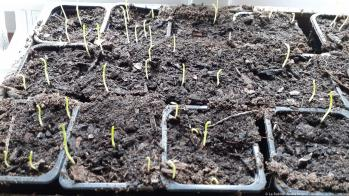Sweet pea seedlings at 8 days