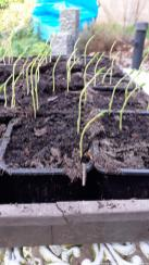 2. Sweet pea seedlings leaning