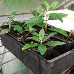 Buddleia softwood cuttings