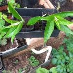 Buddleia_cuttings planted_1
