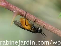 Gooseberry sawfly_La tenthrède