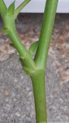 Propagating geraniums 6