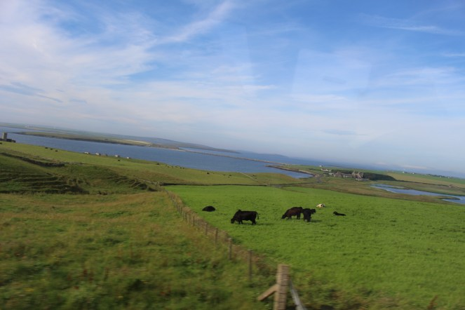 Cattle Graze with the Ocean in the Background