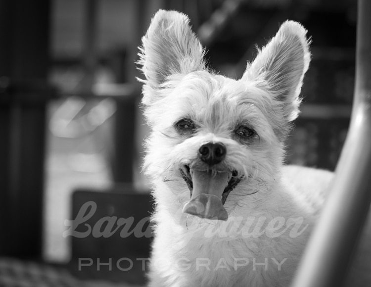 Smiling+Wilson+Porkie+Dog