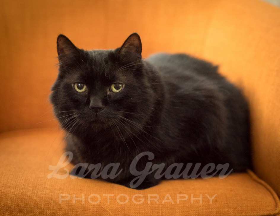 formal+Halloween+cat+portrait