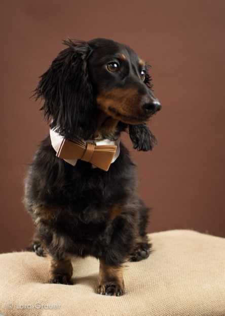 Dachshund+with+bow+tie