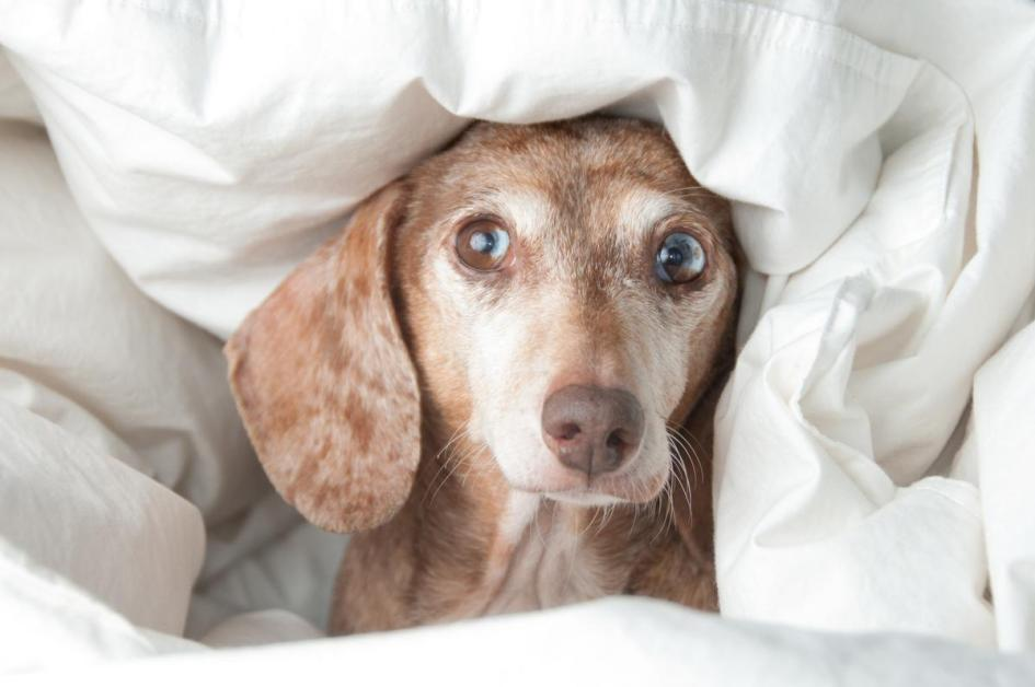 Photo Of A Dachshund Peeking Out Of Blankets