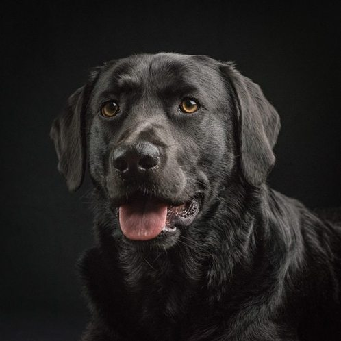 Photograph Of Ace The Black Lab On A Black Background