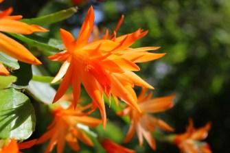 cacti flower (1)