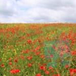 Red_Poppie_Field