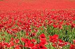 carpet-of-poppies-10017935
