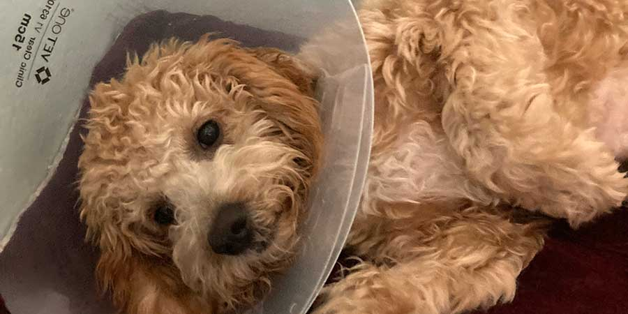 Small beige poodle with a cone around neck