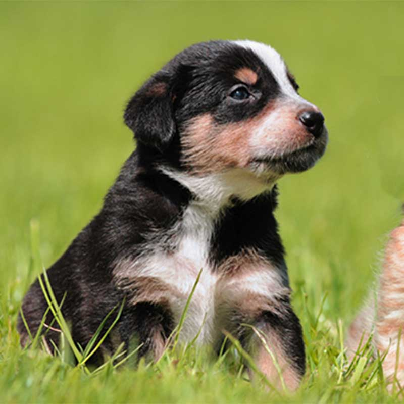 Black and brown small puppy in the grass