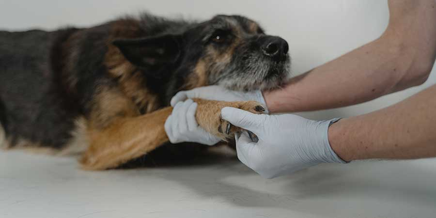 Larchmont veterinarian helping a sick mixed breed dog