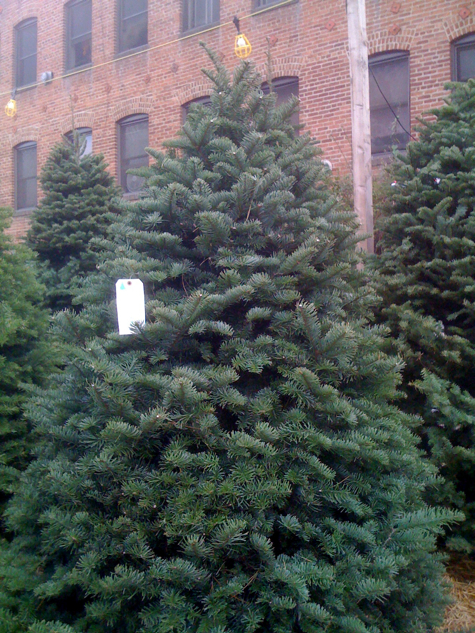 Noble fir Christmas tree on Larchmont Boulevard