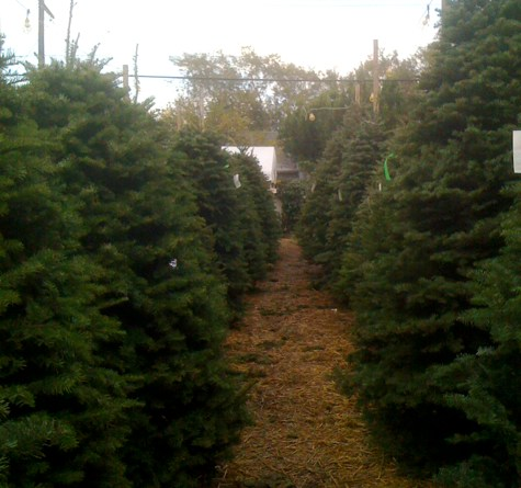 Christmas Tree Lot on Larchmont Blvd