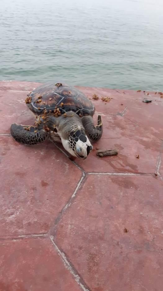 Van 11 tortugas marinas muertas en Miramar