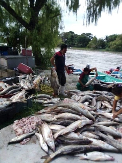 Alarma por pesca rapiña de 20 toneladas de róbalo