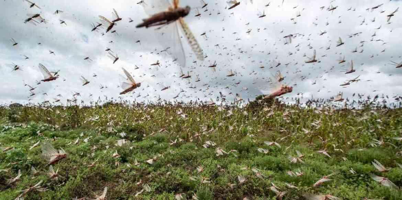 Miles de hectáreas en riesgo por ataque de langostas