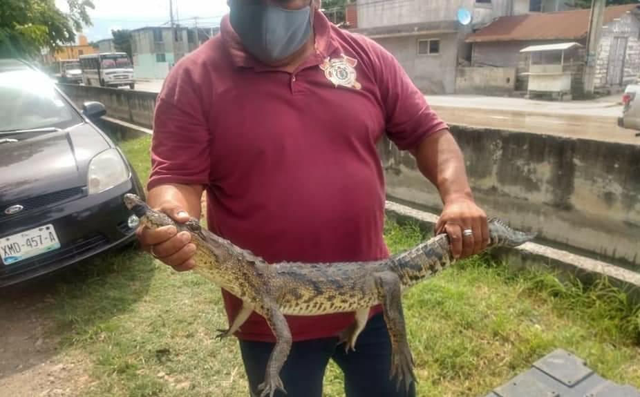 Incrementan lluvias salida de cocodrilos en Madero