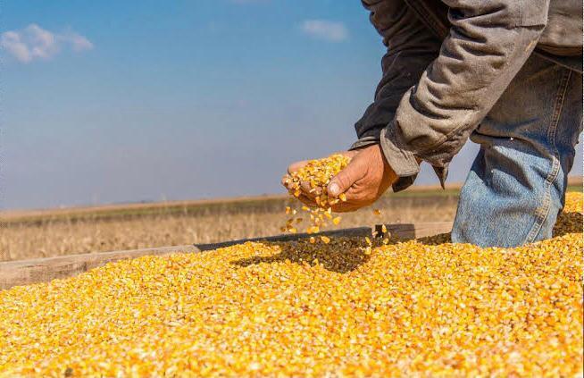 A la alza precio de maíz por alta demanda en China
