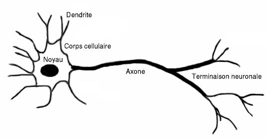 Schéma du neurone humain. Le fonctionnement des réseaux neurones s'en inspire.