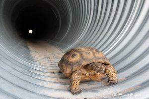 Desert tortoise in culvert under US Hwy 93
