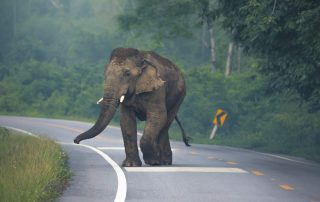 Asian Elephant in Road