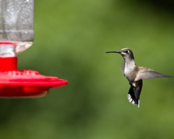 A hummingbird displays its bioacoustic tail feathers while feeding from a bird feeder. (William Brawley Flickr/ Creative Commons)