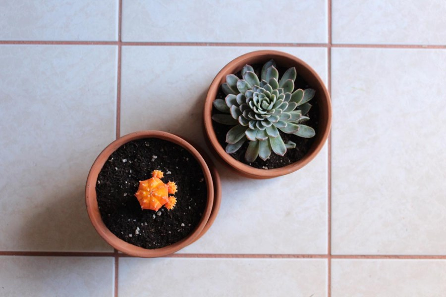 A potted Pearl Echeveria and Moon cactus.