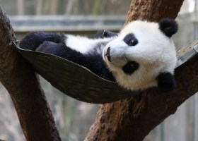 A picture of Yun Zi in his hammock at the San Diego Zoo. (Nathan Rupert)