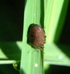 louisiana black rice bug adult [ 1037 x 1382 Pixel ]