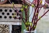 Kvistar av rysk kornell som strax slår ut. Foto: Johanne Pernklint