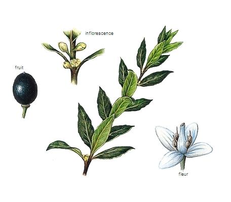 Encyclopdie Larousse en ligne  Laurier