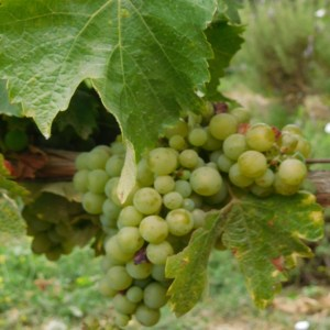 Raisin Bio, vignobles bio