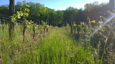 Rangs de vignes Château Haut Roc
