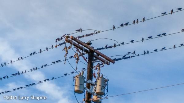 hundreds of birds line power lines