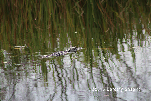 An alligator floating in the Everglades