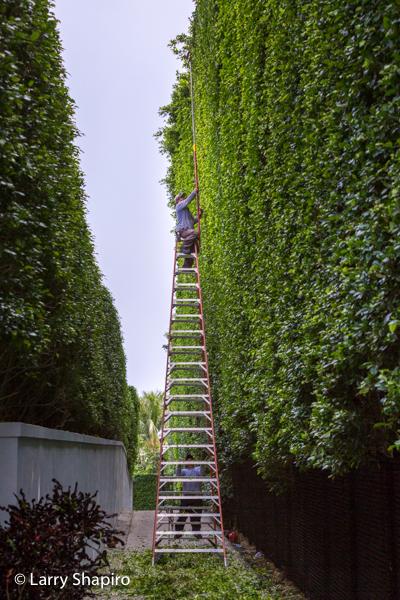 Manicured bushes in Palm Beach
