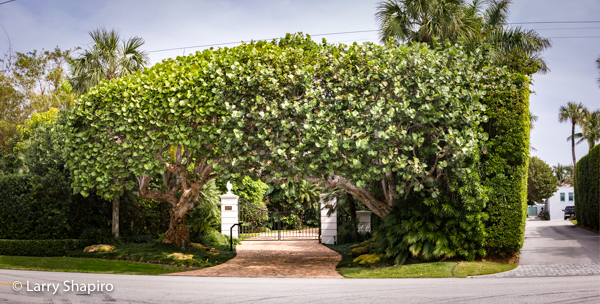 archway sculpted brom bushes at Palm Beach home