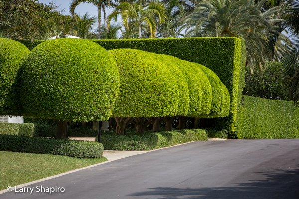 Round sculpted bushes in Palm Beach FL.