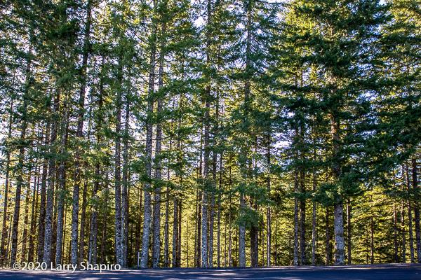 tall trees on highway summit
