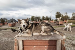 Sledge Dogs, Husky, Blue Eyes, Barking, Tromsö, Street Photography, Photo Book, Lars Hübner, Fotograf, Norway, Reportage, Visual Storytelling