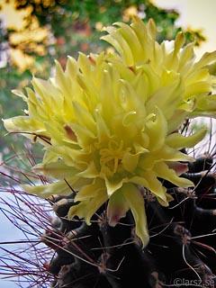 Kaktus i blom