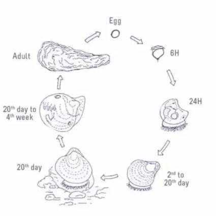 vie sexuelle de l'huître