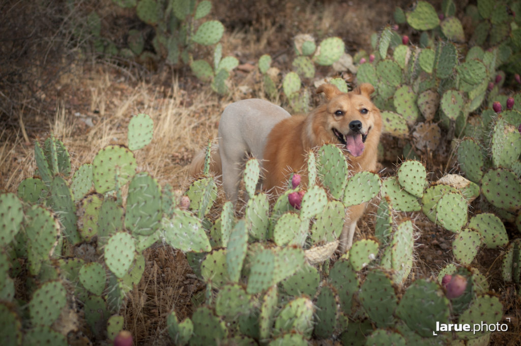 Penny seems at home here among Prickly Pear Cactus