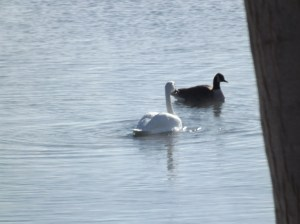 2 Swan on a Cold Day