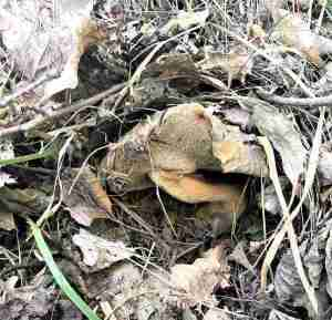 cueillette champignons sauvages