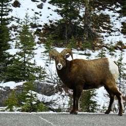 Cabra invade carretera Rocky Mountains Canada